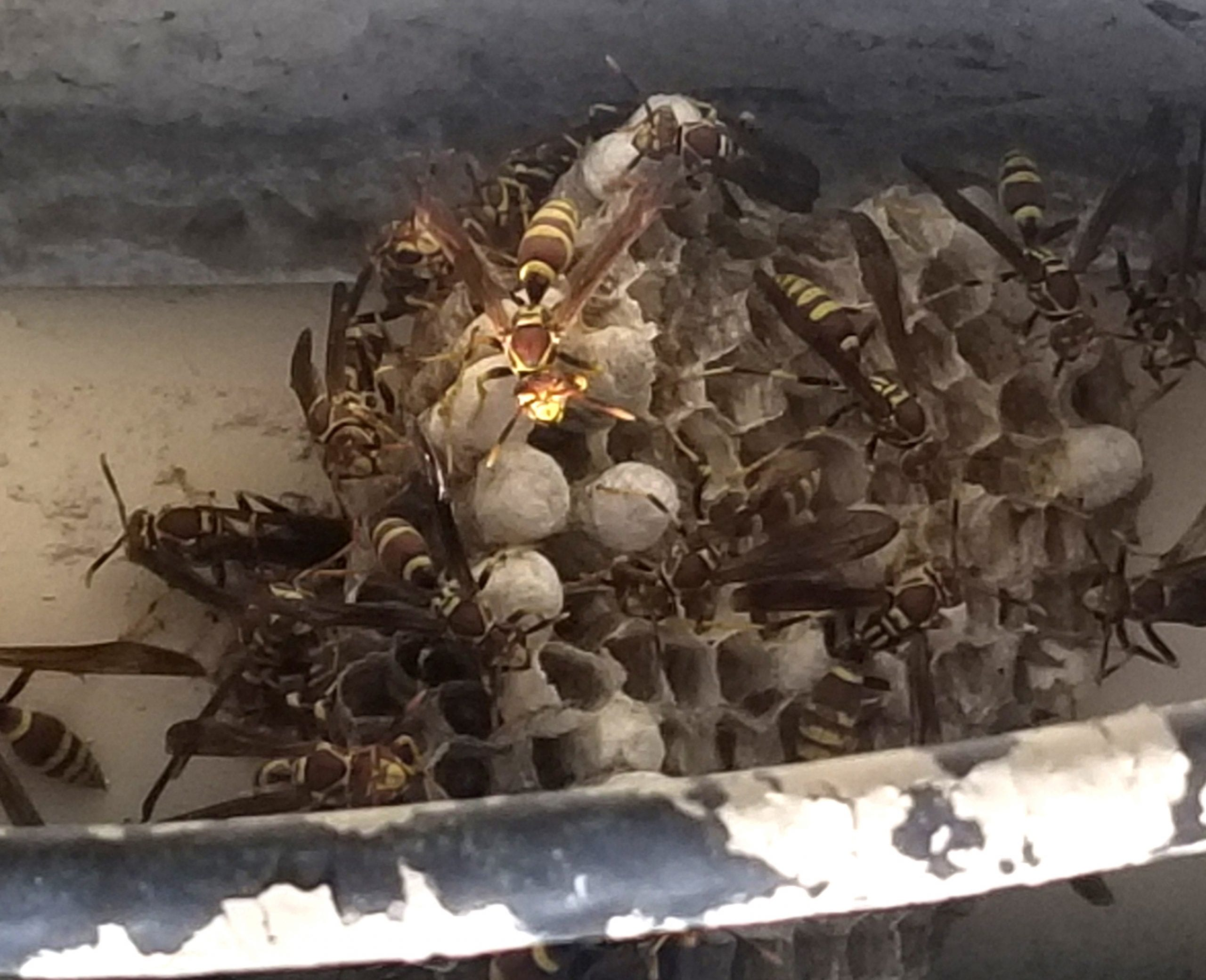 remove bee hive in green valley, az
